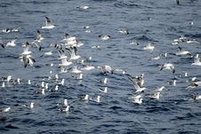Free Seagull Royalty Free Stock Image - 1386306