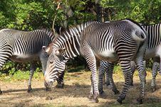 Free Zebra Royalty Free Stock Images - 1386369