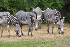 Free Zebra Stock Images - 1386374
