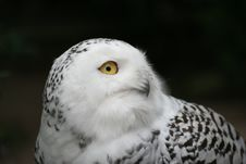 Free Owl Stock Photos - 1388153