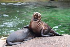 Free Sealion Royalty Free Stock Image - 1388206