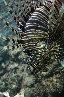 Free Zebra Fish Stock Image - 1388271