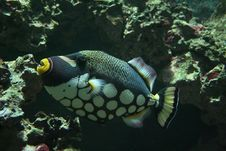 Free Parrot Fish Stock Images - 1388324