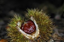Free A Chestnut In The Forest Royalty Free Stock Photos - 1389178