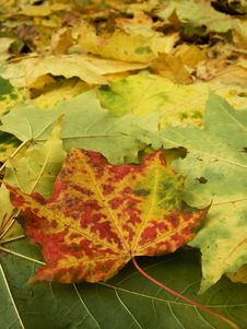 Free Maple Leaves Royalty Free Stock Photo - 1389905