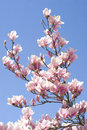 Free Magnolia Stock Photos - 13800123