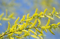 Free Blooming Willow Tree Royalty Free Stock Images - 13800129