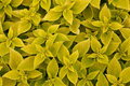 Free Area Bright Green Leaf Coleus Close-up Royalty Free Stock Images - 13803179