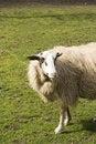 Free A White Sheep Royalty Free Stock Photos - 13804778