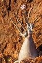 Free Bottle Tree - Adenium Obesum Stock Photography - 13805712