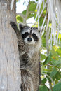 Free Raccoon On The Tree Royalty Free Stock Images - 13806129