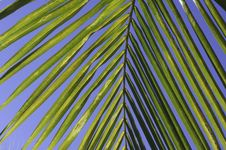Free Yellowish Green Coconut Leaf Detail Royalty Free Stock Image - 13801596
