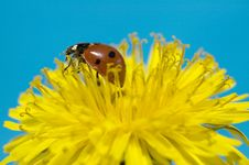 Free Ladybug On Yellow Flower Stock Photography - 13802742