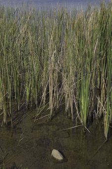 Free Water Grass Royalty Free Stock Photography - 13802847
