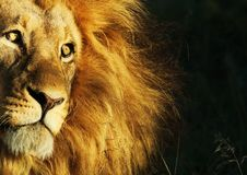 Free Lion Awaiting Darkness Stock Photography - 13803072
