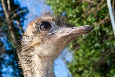 Free Ostrich Royalty Free Stock Photos - 13803238