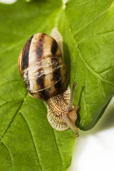Free Snail On Green Leaf Royalty Free Stock Image - 13803366