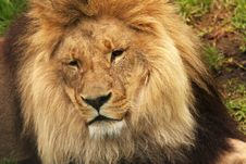 Free Lion01 Royalty Free Stock Images - 13803369