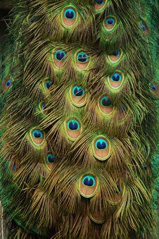 Free Peacock Royalty Free Stock Image - 13803396