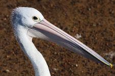 Free Pelican01 Royalty Free Stock Photos - 13803398