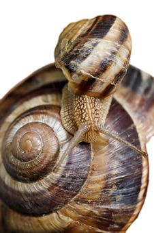 Free Snails Isolated On White Royalty Free Stock Photos - 13803408
