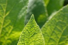 Green Leaf Foxglove Close-up Of Backlighting Royalty Free Stock Photo