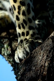 Free Leopard Paw Royalty Free Stock Photo - 13803525