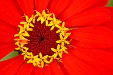 Free Stamens Of The Flower Zinnia  With Reds Leaves Stock Photos - 13803563