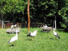 Free Storks  In Convalescence. Royalty Free Stock Images - 13803589