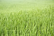 Free Wheat Field Stock Photo - 13804790