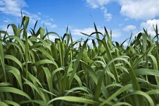 Free Wheat Field Stock Photos - 13804913