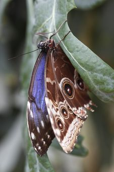 Free Tropical Butterfly - Peleides Blue Morpho Stock Photo - 13805040