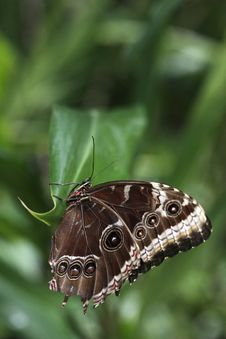 Free Morpho Butterfly On The Leaf Royalty Free Stock Image - 13805246