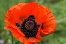 Free Orange Poppy Stock Photo - 13805460