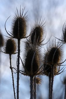 Free Teasel Royalty Free Stock Image - 13805476