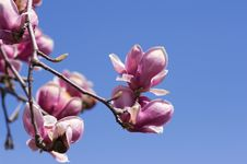 Free Magnolia Blossoms Stock Photo - 13806390