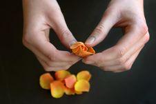 Free Young Woman Peels Away Rose Petals Stock Photography - 13806852