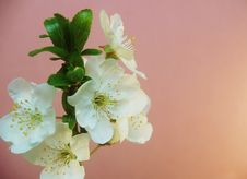 Free Spring Blossom Royalty Free Stock Images - 13807319