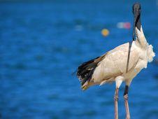 Australian White Ibis Sea Bird Royalty Free Stock Image