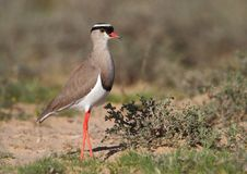 Free Crowned Plover Stock Image - 13807501