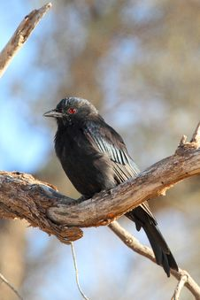 Free Fork-tailed Drongo Stock Photo - 13807710