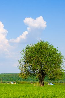 Free Alone Tree Royalty Free Stock Image - 13807826