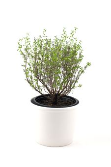 Free Thyme Plant Stock Photography - 13807942