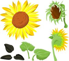 Free Sunflower Set Stock Photos - 13808073