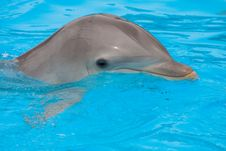 Bottlenose Dolphin In The Pool Stock Photography