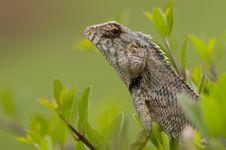 Free Chameleon Stock Photos - 13809583