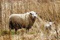 Free Spring Lamb And Mum Stock Image - 13810721