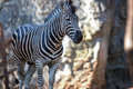 Free Zebra Walking Royalty Free Stock Images - 13812109