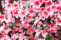 Free Pink And White Peach Azalea Blooms Royalty Free Stock Images - 13812359