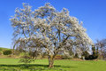 Free Flowering Tree Stock Photo - 13814850